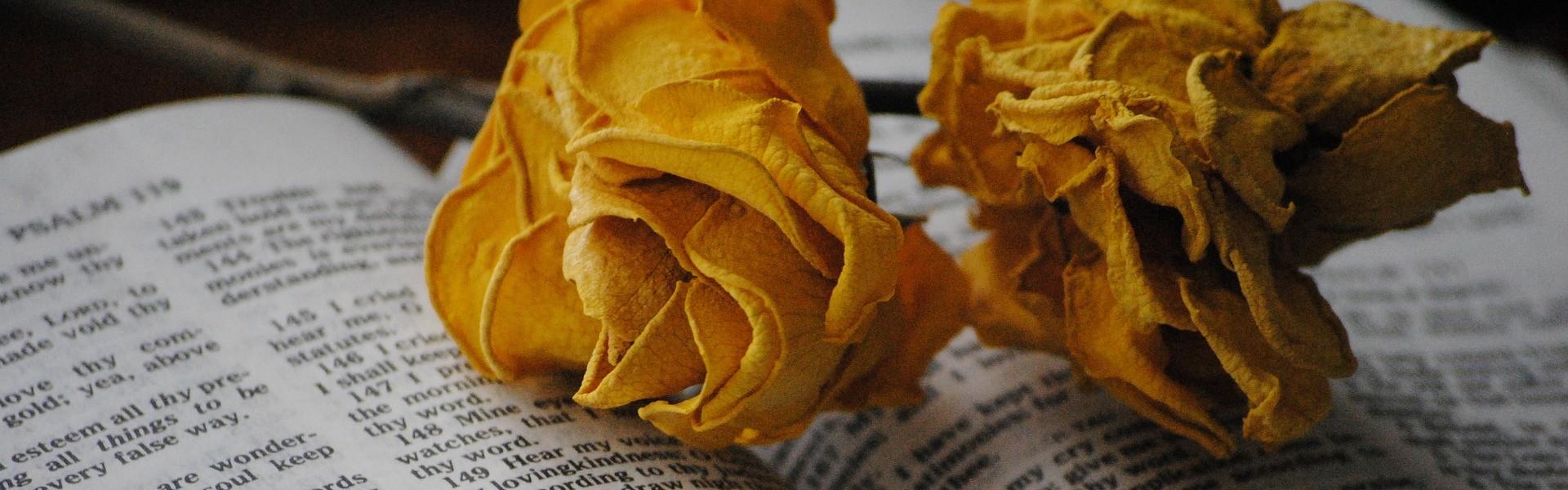 rose-697648_1920